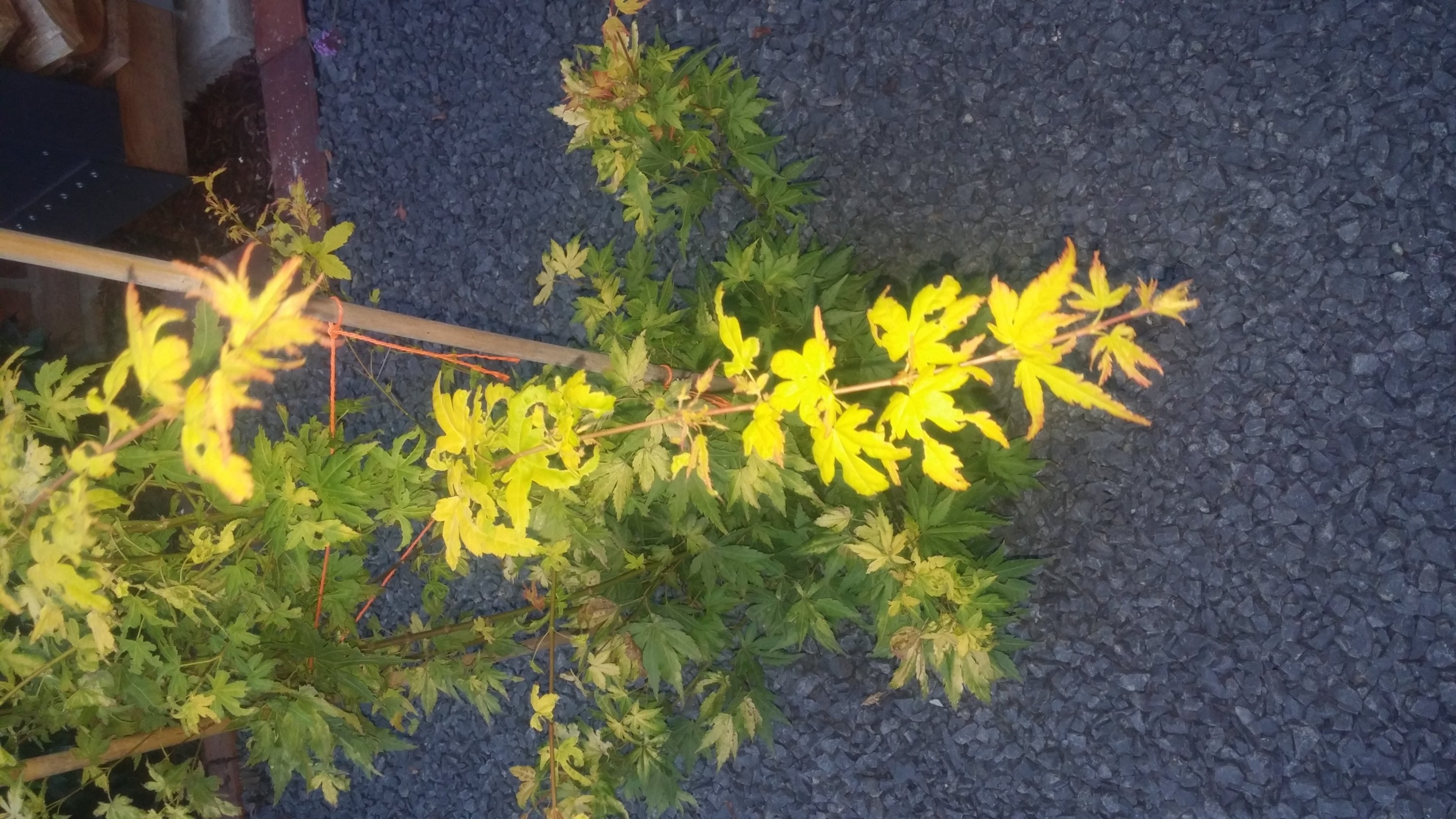 Acer palmatum Orange Dream Blätter problem-20170727_212739.jpg