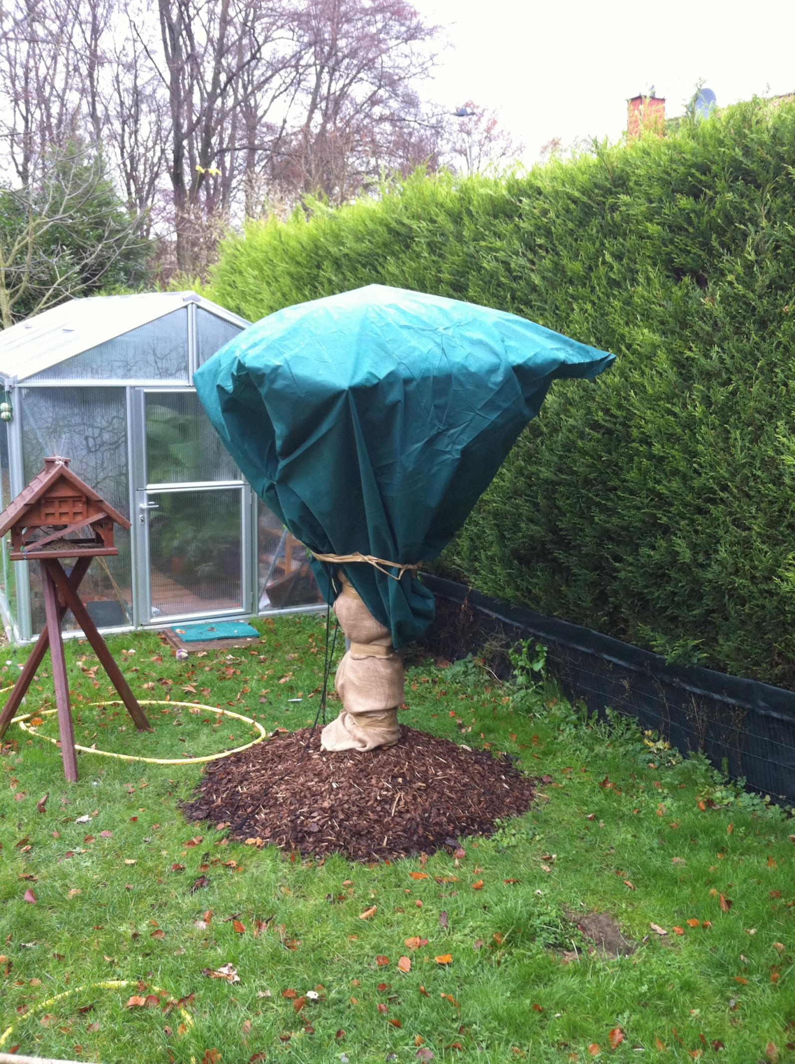 hanfpalmen im winter seite 5. Black Bedroom Furniture Sets. Home Design Ideas