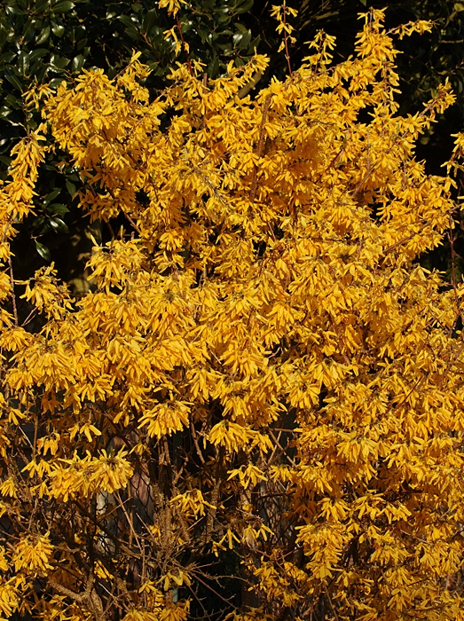 forsythie_bloom_gelb_yellow2_700-jpg.615487