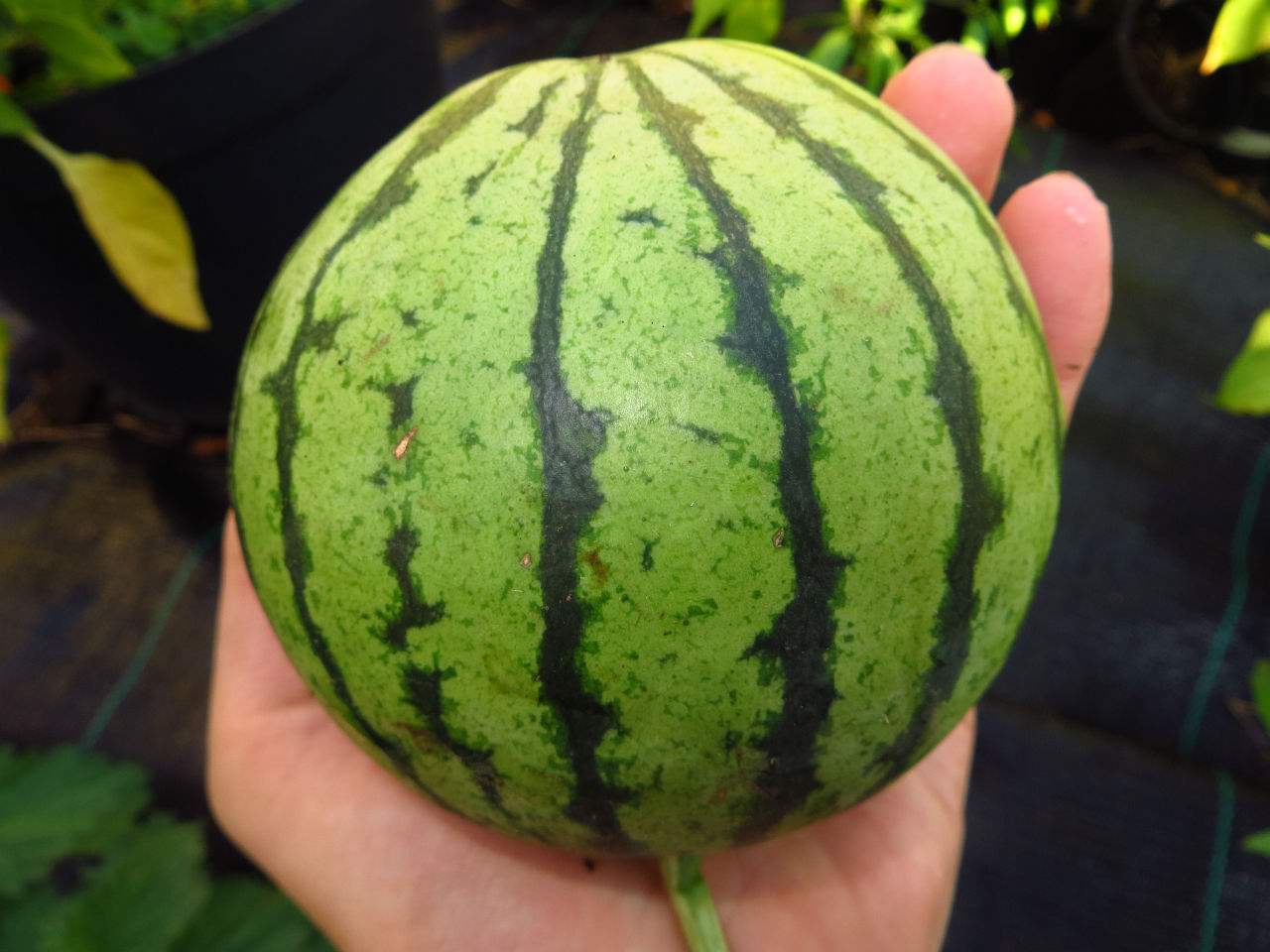 Zucker- & Wassermelonen-Z�glinge 2012-melon_cream_of_saskatchewan_0.jpg