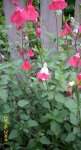 Salvia Hot Lips 2.jpg