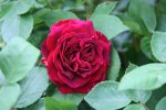 Rose Alfred Colomb0116.jpg