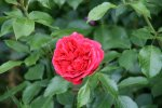 Rose Out of Rosenheim1018.jpg