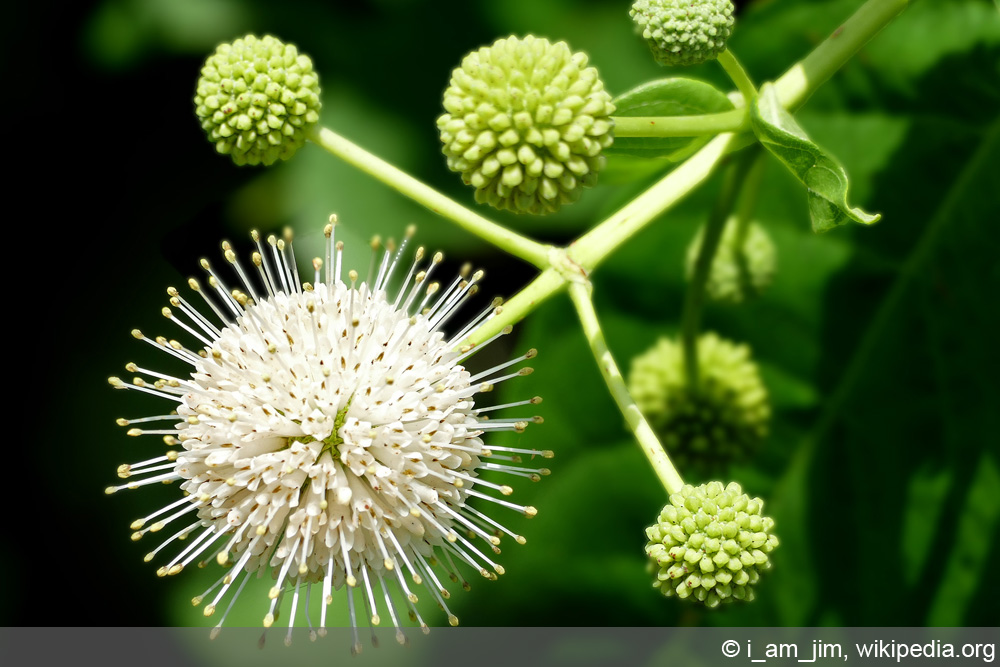 Knopfbusch - Cephalanthus occidentalis