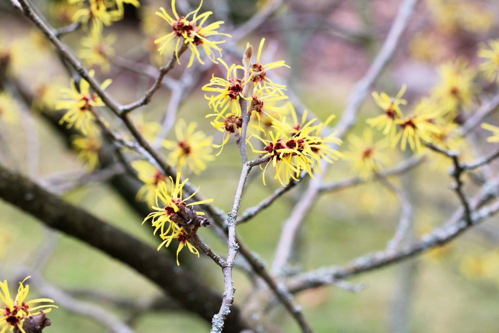Zaubernuss - Hamamelis intermedia