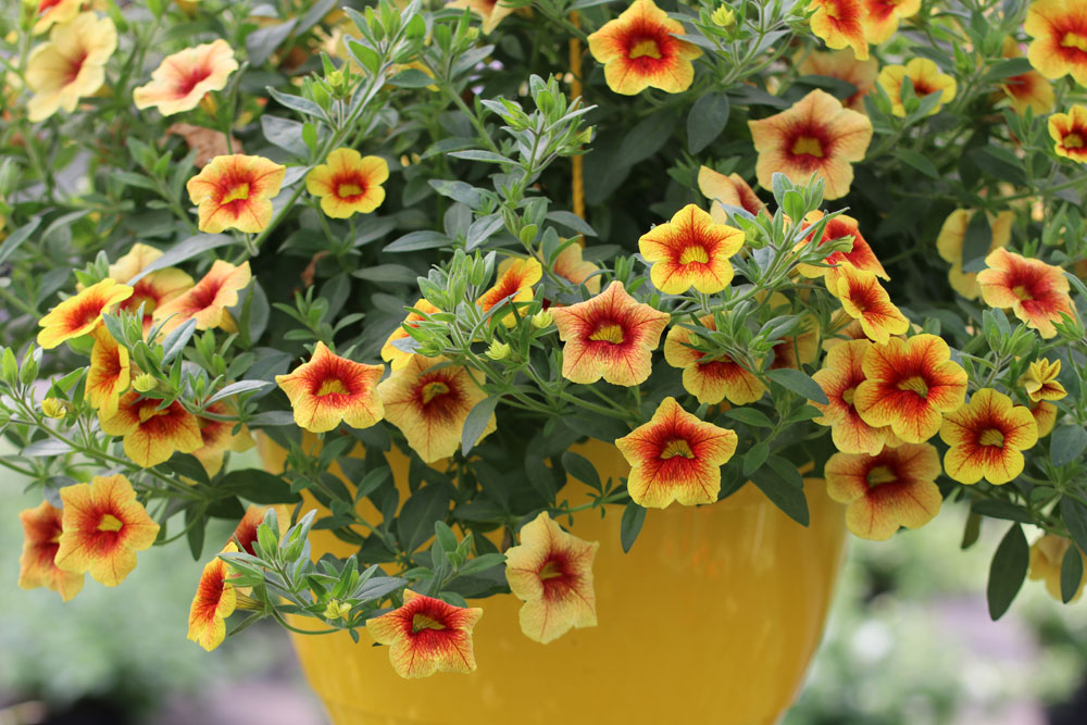 Million-bells - Zauberglöckchen - Calibrachoa