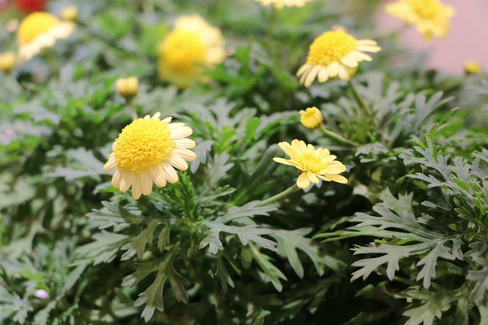 Strauchmargerite - Aargyranthemun frutescens - Double Yellow