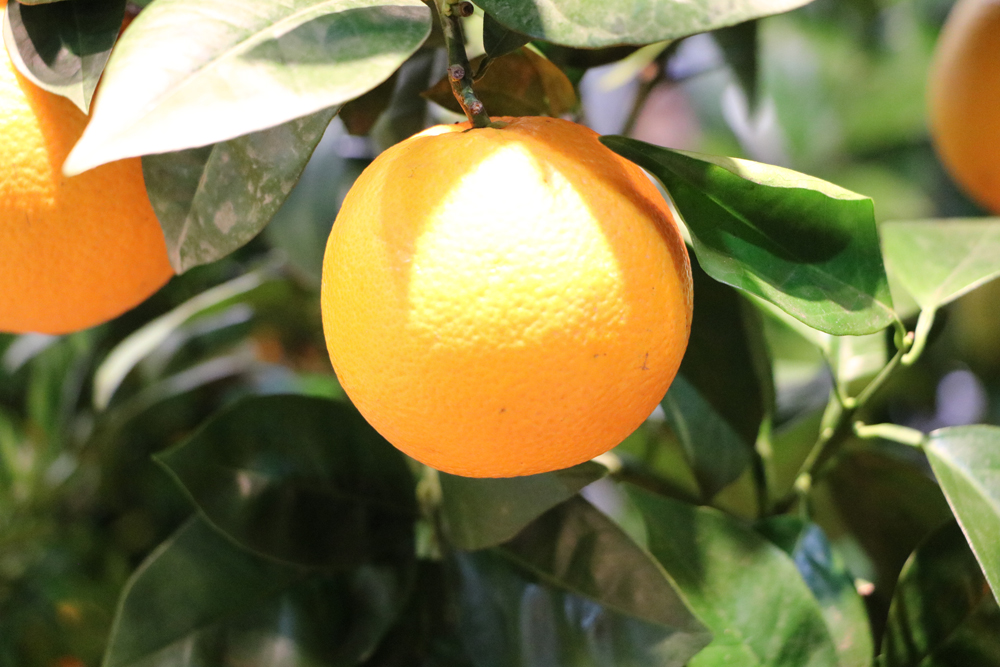 Apfelsine - Orange - Citrus sinensis