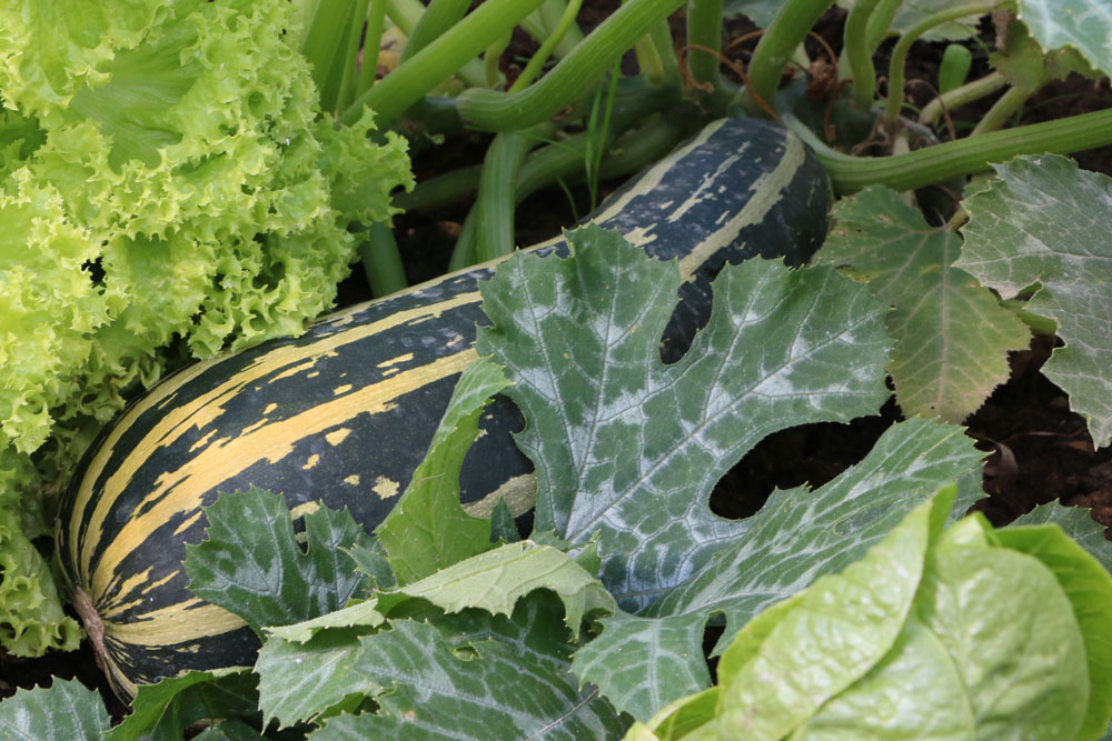 zucchini richtig ernten erntezeit darf man die bl tter abschneiden. Black Bedroom Furniture Sets. Home Design Ideas