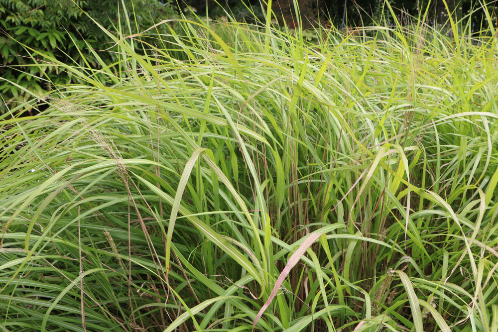 Chinaschilf - Miscanthus purpurascens