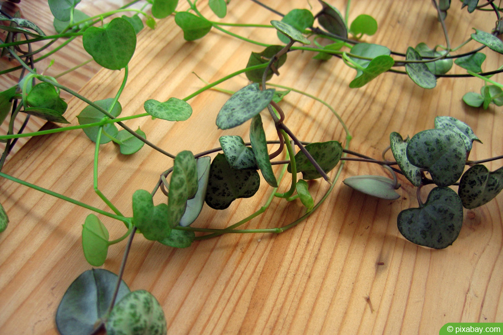 Ceropegia woodii - Leuchterblume - String of hearts