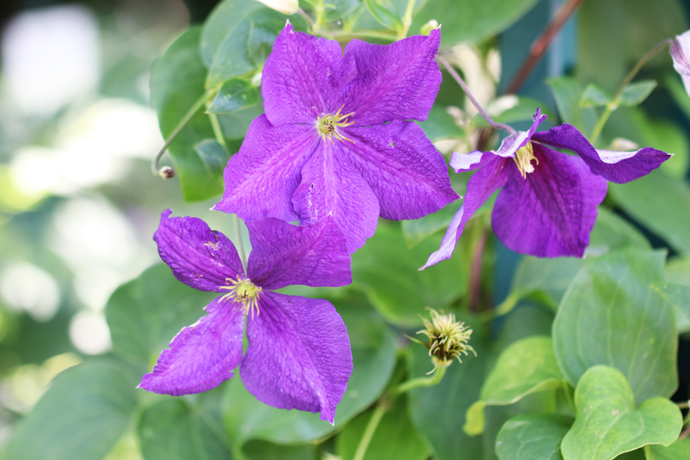 Clematis The President Waldrebe