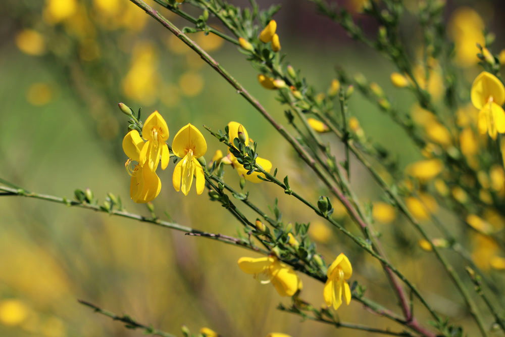 Edelginster - Cytisus scoparius