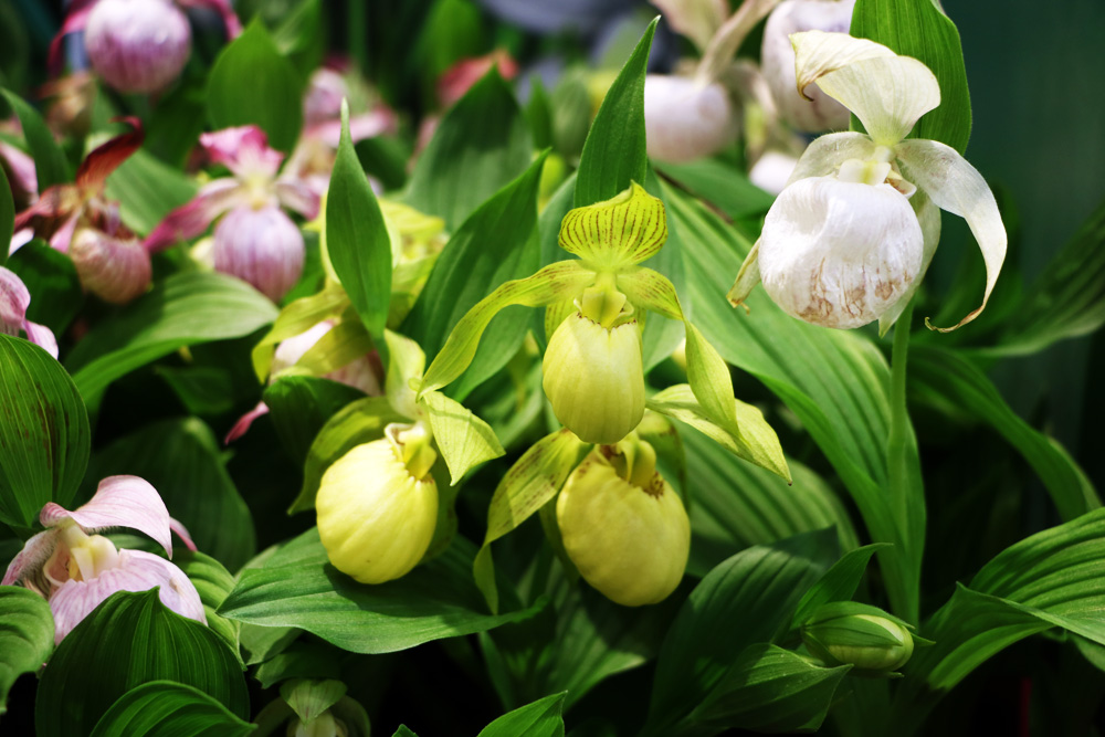 Orchidee Frauenschuh - Cypripedium - Phragmipedium