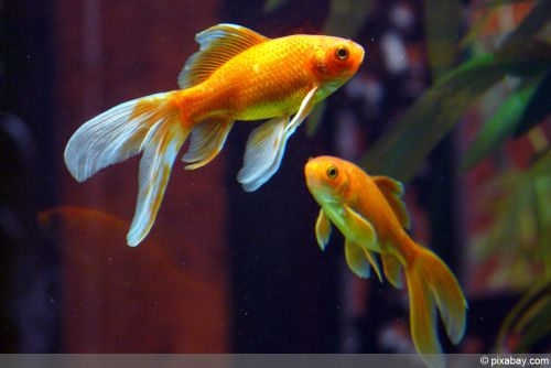 fische tiere im gartenteich. Black Bedroom Furniture Sets. Home Design Ideas