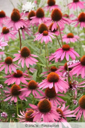 purpur sonnenhut echinacea purpurea pflege. Black Bedroom Furniture Sets. Home Design Ideas