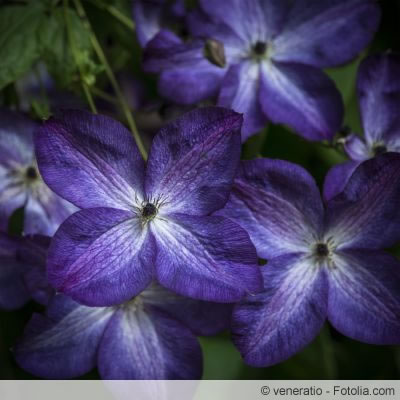 clematis vermehren 17 best ideas about clematis on pinterest clematis clematis durch ableger. Black Bedroom Furniture Sets. Home Design Ideas